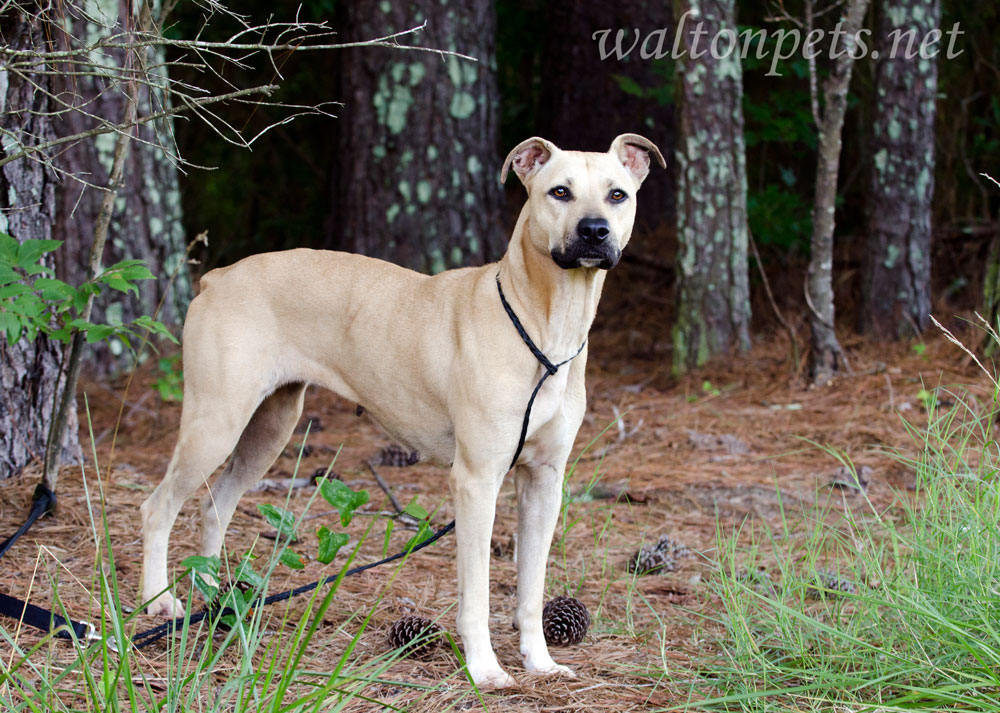 Black Mouth Cur Dog Personality